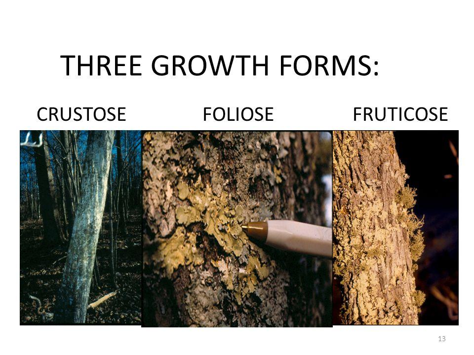 THREE GROWTH FORMS: CRUSTOSEFOLIOSEFRUTICOSE 13