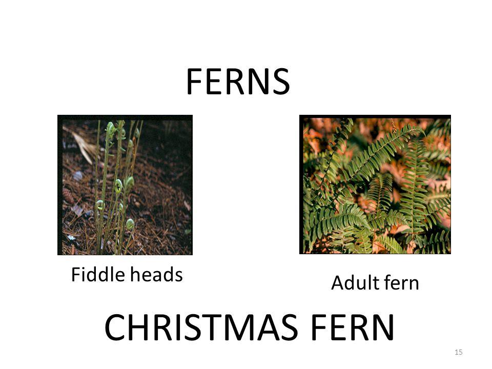 FERNS CHRISTMAS FERN Fiddle heads Adult fern 15
