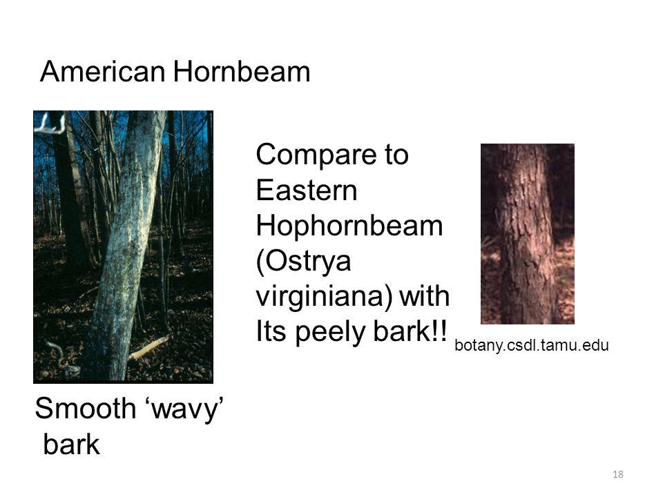 18 American Hornbeam Smooth 'wavy' bark Compare to Eastern Hophornbeam (Ostrya virginiana) with Its peely bark!! botany.csdl.tamu.edu