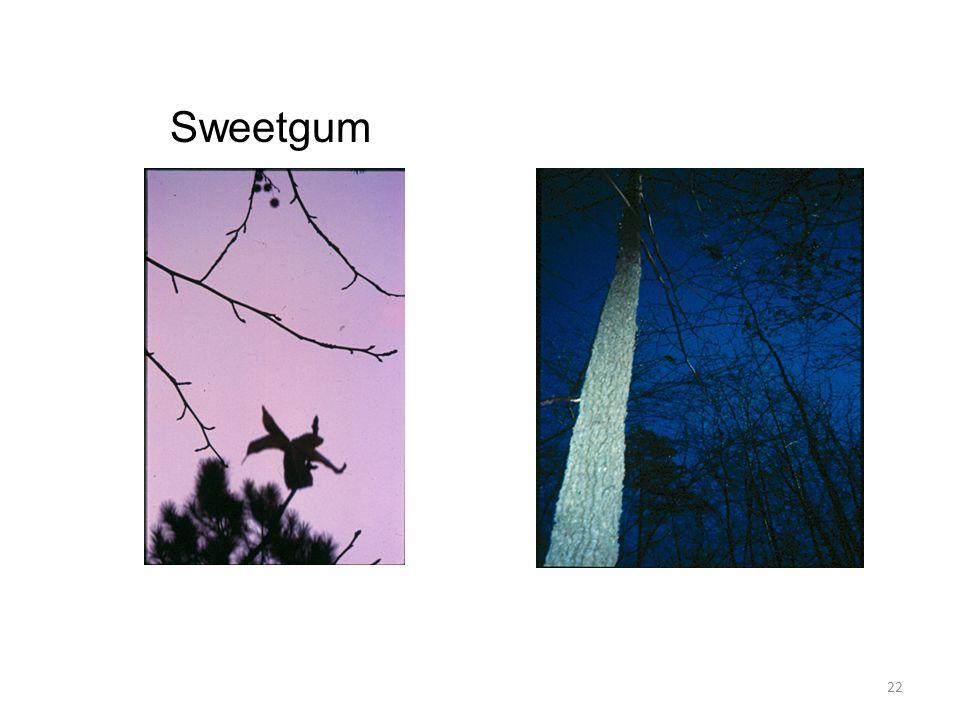 22 Sweetgum