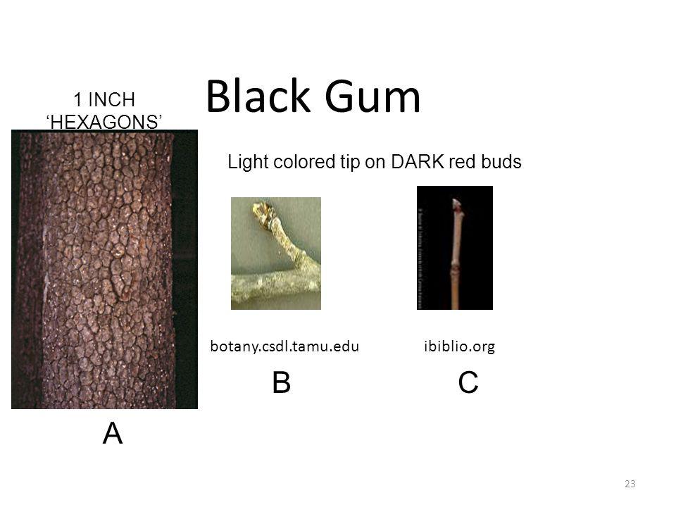 botany.csdl.tamu.eduibiblio.org Black Gum 23 A BC 1 INCH 'HEXAGONS' Light colored tip on DARK red buds