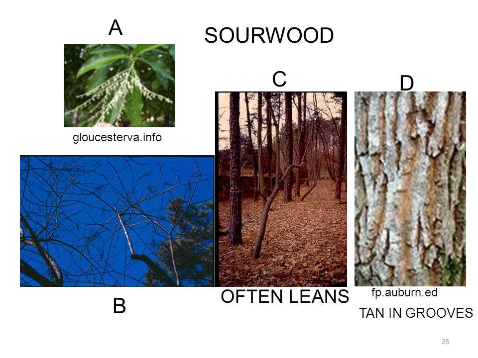 25 gloucesterva.info fp.auburn.ed SOURWOOD OFTEN LEANS A C B D TAN IN GROOVES
