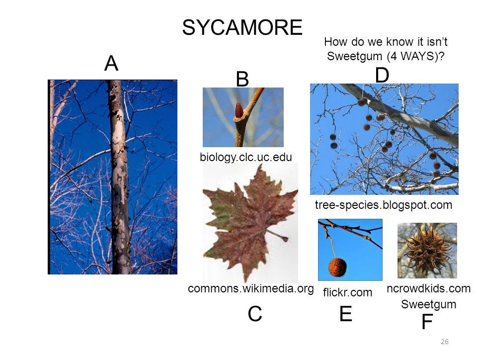26 SYCAMORE biology.clc.uc.edu flickr.com tree-species.blogspot.com A D E B commons.wikimedia.org C How do we know it isn't Sweetgum (4 WAYS)? ncrowdk