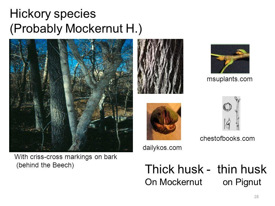 28 Hickory species (Probably Mockernut H.) With criss-cross markings on bark (behind the Beech) dailykos.com msuplants.com chestofbooks.com Thick husk