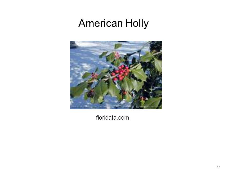 32 American Holly floridata.com