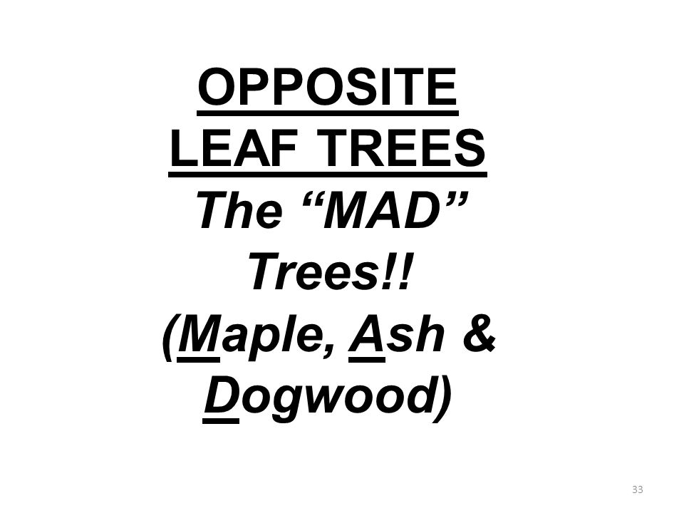 33 OPPOSITE LEAF TREES The MAD Trees!! (Maple, Ash & Dogwood)