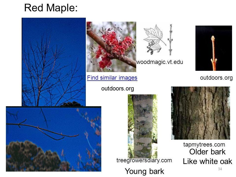 34 Red Maple: woodmagic.vt.edu Find similar imagesoutdoors.org treegrowersdiary.com tapmytrees.com Young bark Older bark Like white oak