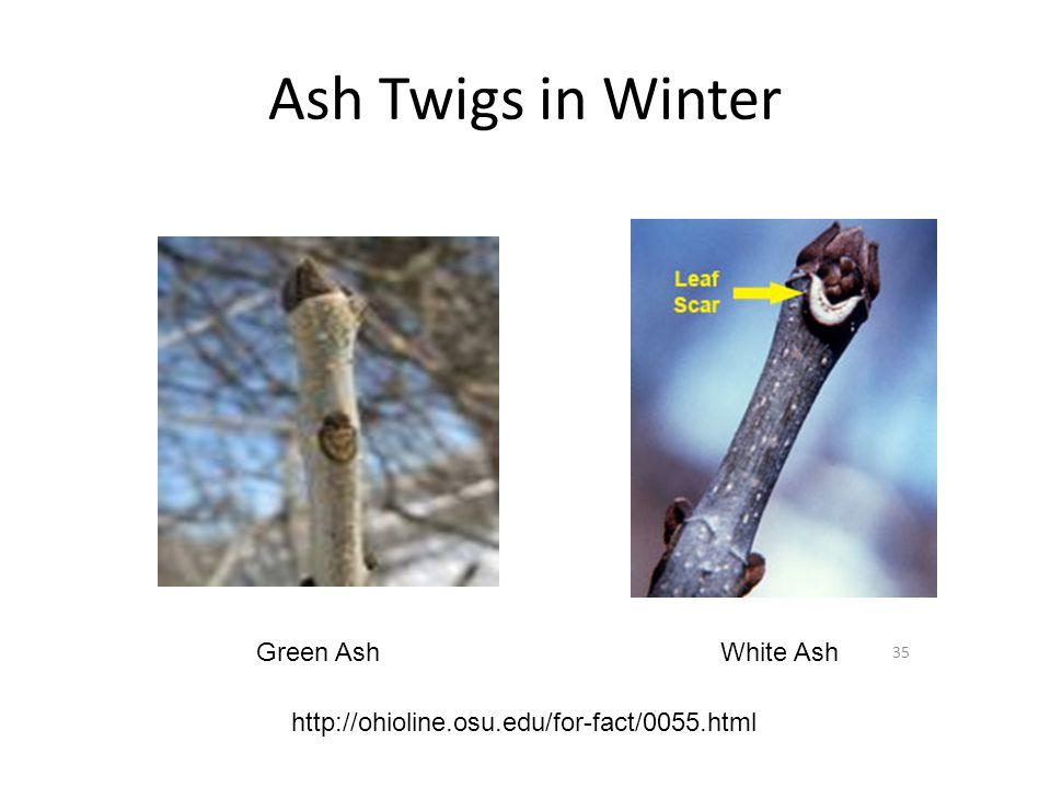 Ash Twigs in Winter 35 Green Ash White Ash http://ohioline.osu.edu/for-fact/0055.html