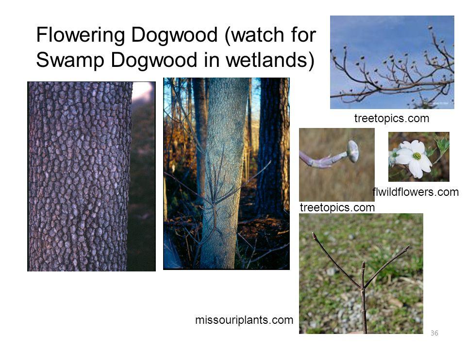 36 Flowering Dogwood (watch for Swamp Dogwood in wetlands) treetopics.com flwildflowers.com missouriplants.com