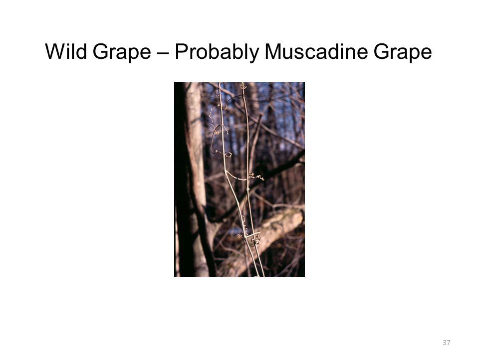 37 Wild Grape – Probably Muscadine Grape