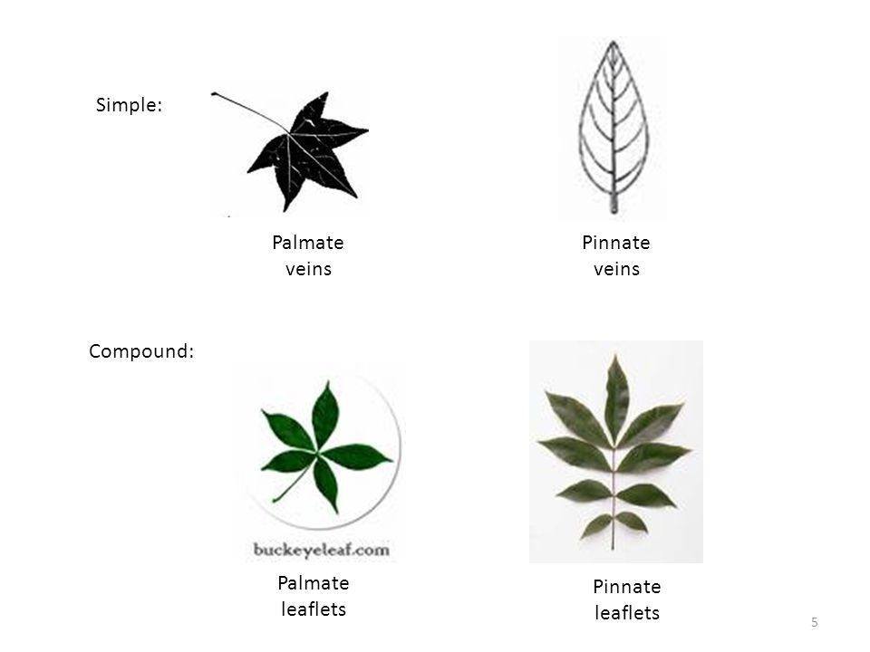 Simple: Palmate veins Pinnate veins Compound: Palmate leaflets Pinnate leaflets 5
