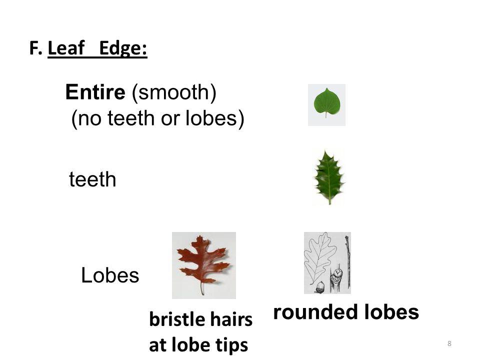 F. Leaf Edge: Entire (smooth) (no teeth or lobes) teeth Lobes bristle hairs at lobe tips rounded lobes 8