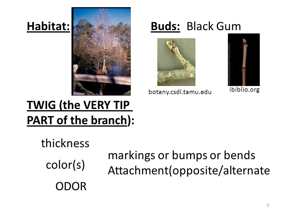 30 treesandshrubs.about.com forestry.about.com Bark 2 types of needles Eastern Red Cedar