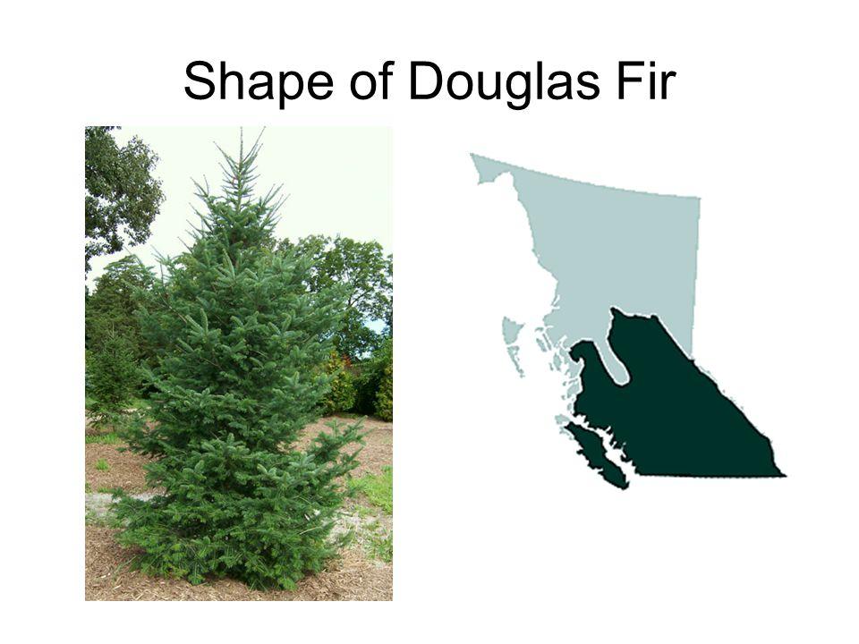 Shape of Douglas Fir