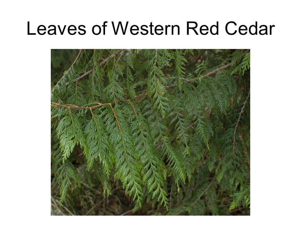 Leaves of Western Red Cedar