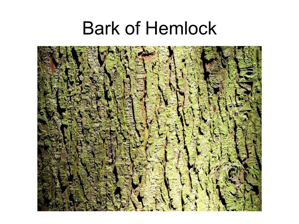 Bark of Hemlock