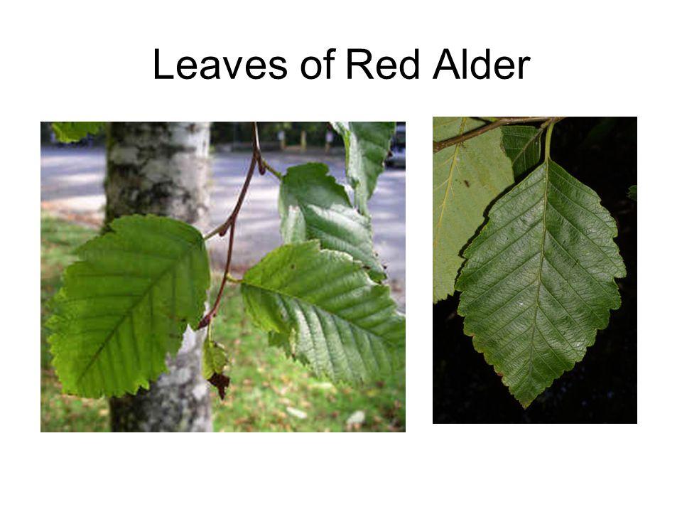 Leaves of Red Alder