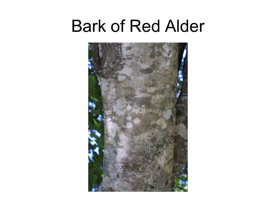 Bark of Red Alder