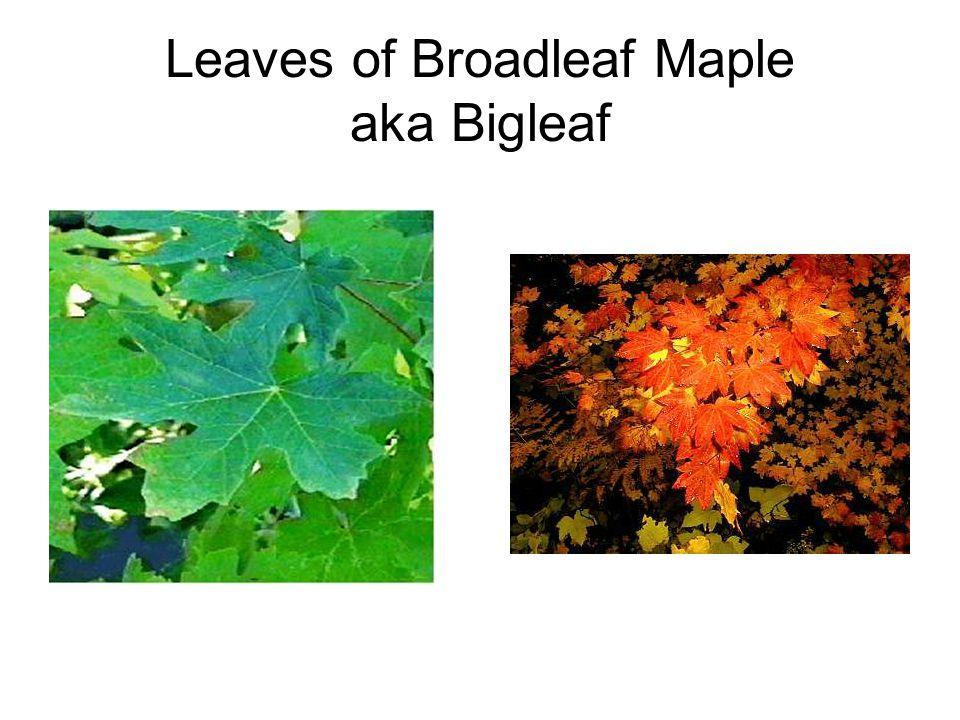 Leaves of Broadleaf Maple aka Bigleaf
