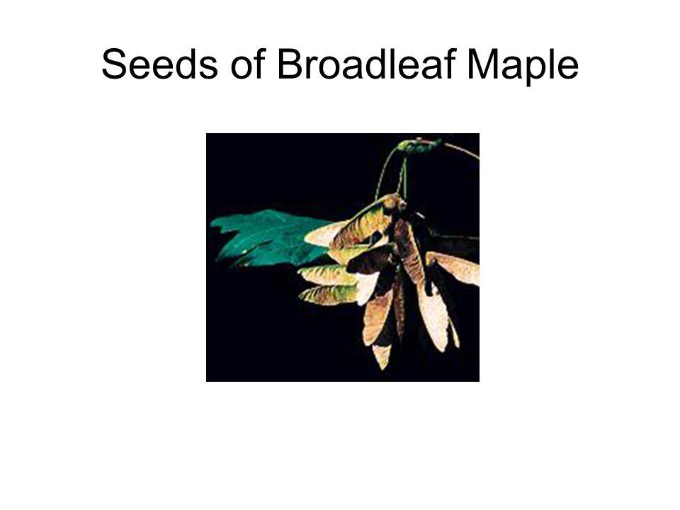 Seeds of Broadleaf Maple