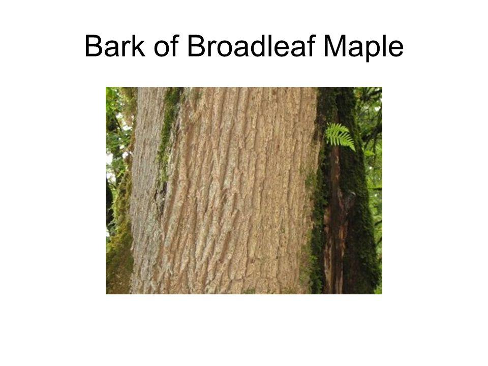 Bark of Broadleaf Maple