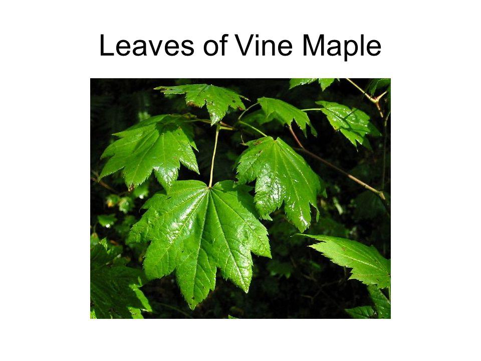 Leaves of Vine Maple