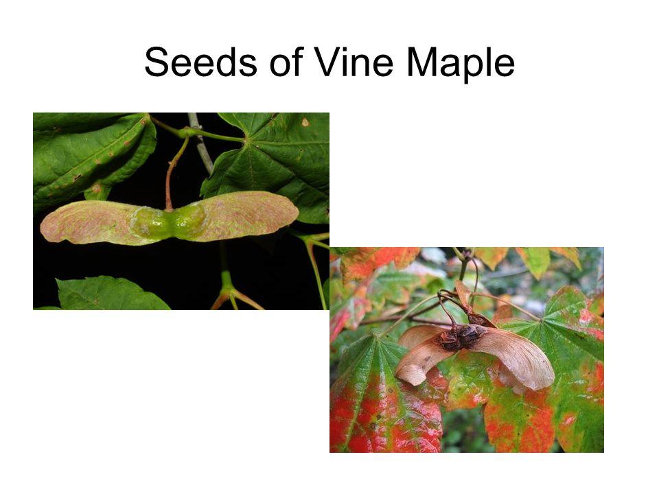 Seeds of Vine Maple