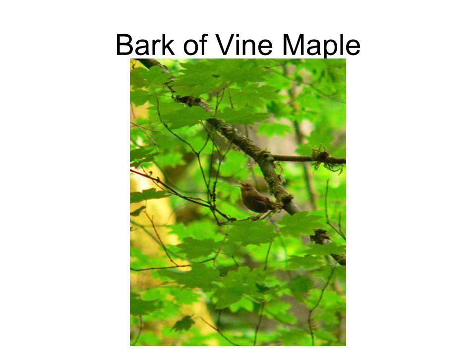 Bark of Vine Maple