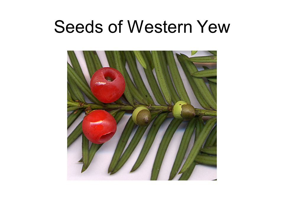 Seeds of Western Yew