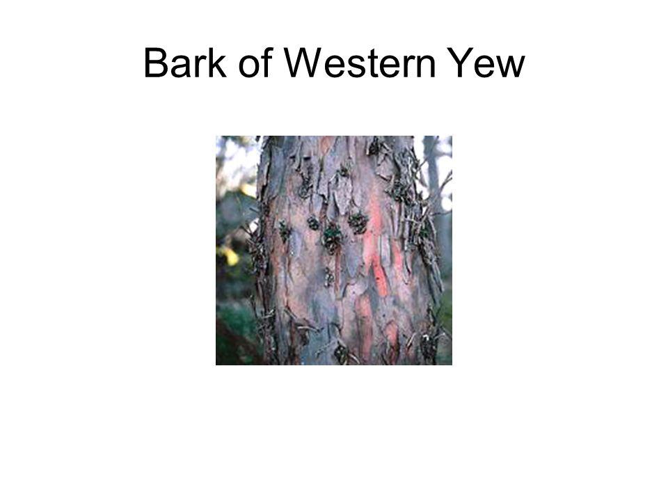 Bark of Western Yew