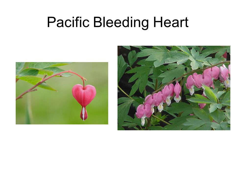 Pacific Bleeding Heart