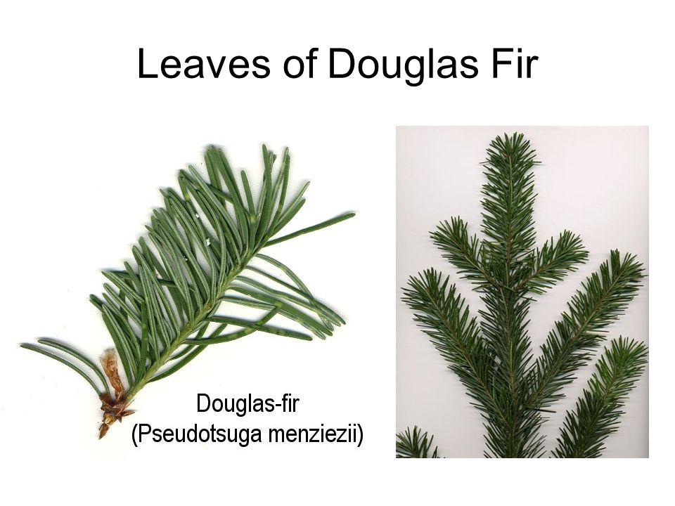 Leaves of Douglas Fir