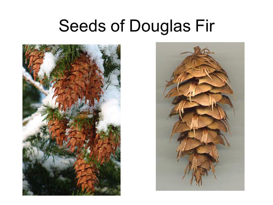 Seeds of Douglas Fir