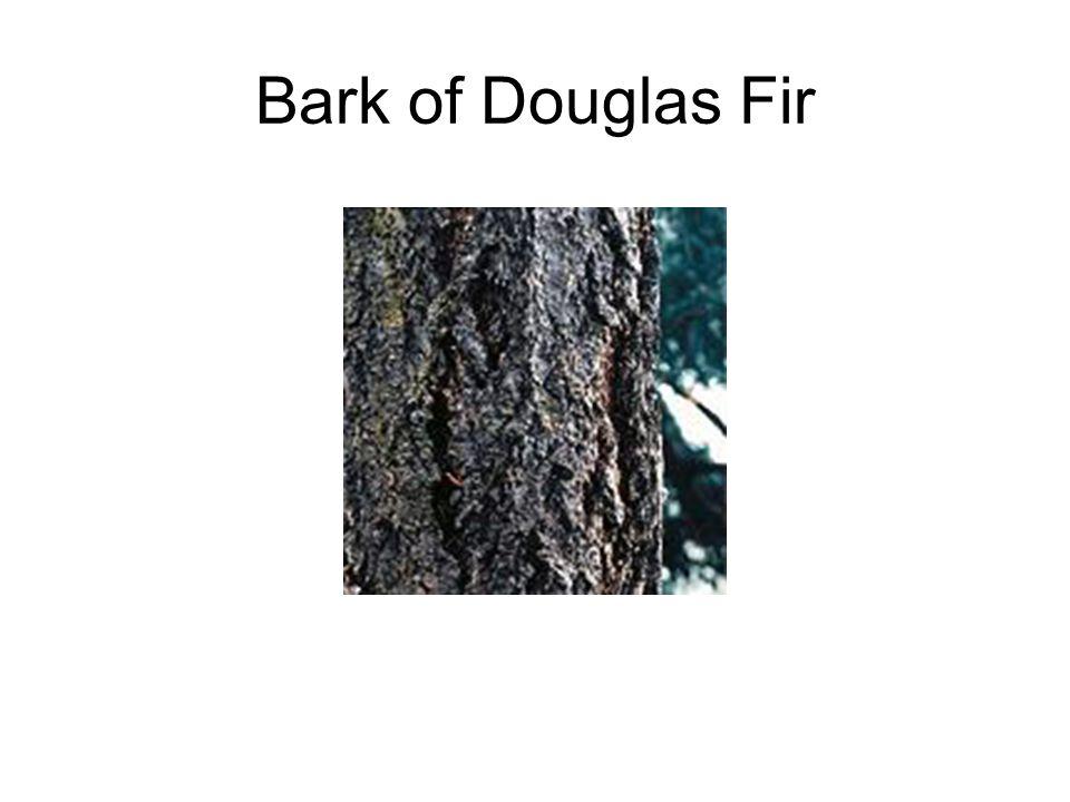 Bark of Douglas Fir