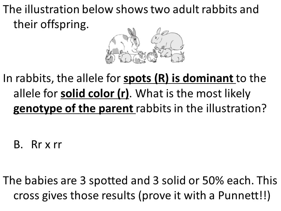 The illustration below shows two adult rabbits and their offspring. In rabbits, the allele for spots (R) is dominant to the allele for solid color (r)