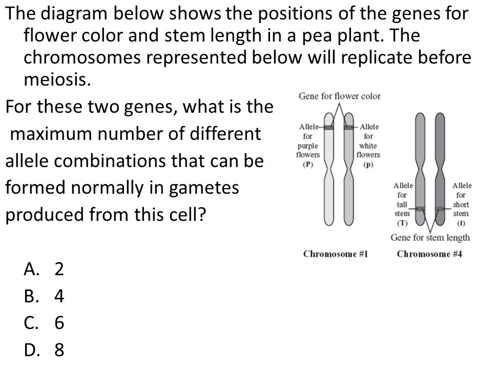 The diagram below shows the positions of the genes for flower color and stem length in a pea plant. The chromosomes represented below will replicate b