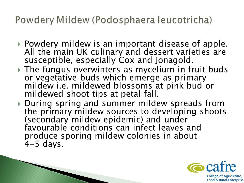 Powdery mildew is an important disease of apple.