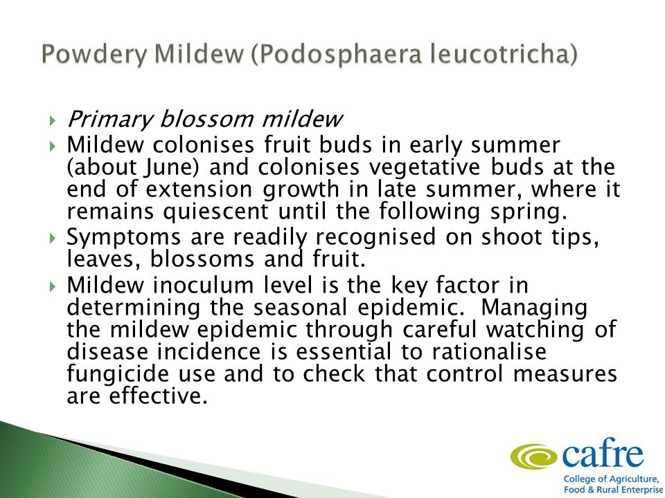  Primary blossom mildew  Mildew colonises fruit buds in early summer (about June) and colonises vegetative buds at the end of extension growth in late summer, where it remains quiescent until the following spring.