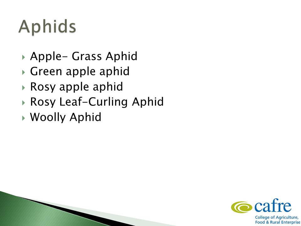  Apple- Grass Aphid  Green apple aphid  Rosy apple aphid  Rosy Leaf-Curling Aphid  Woolly Aphid