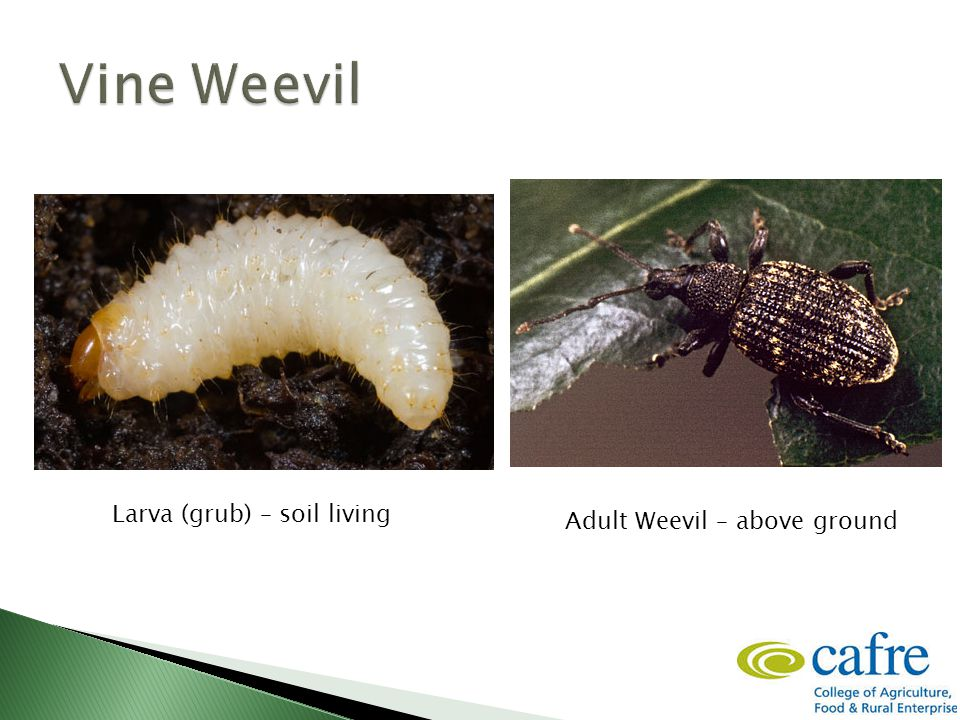Larva (grub) – soil living Adult Weevil – above ground