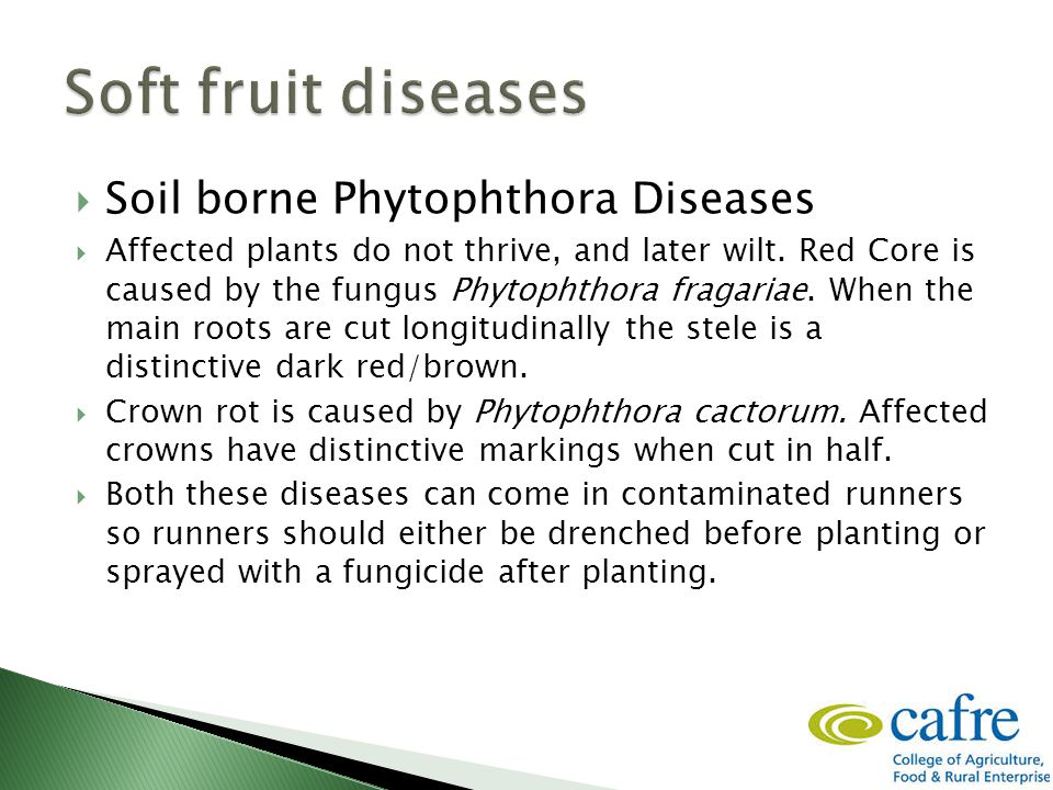  Soil borne Phytophthora Diseases  Affected plants do not thrive, and later wilt.