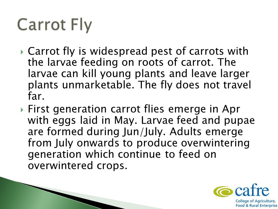  Carrot fly is widespread pest of carrots with the larvae feeding on roots of carrot.