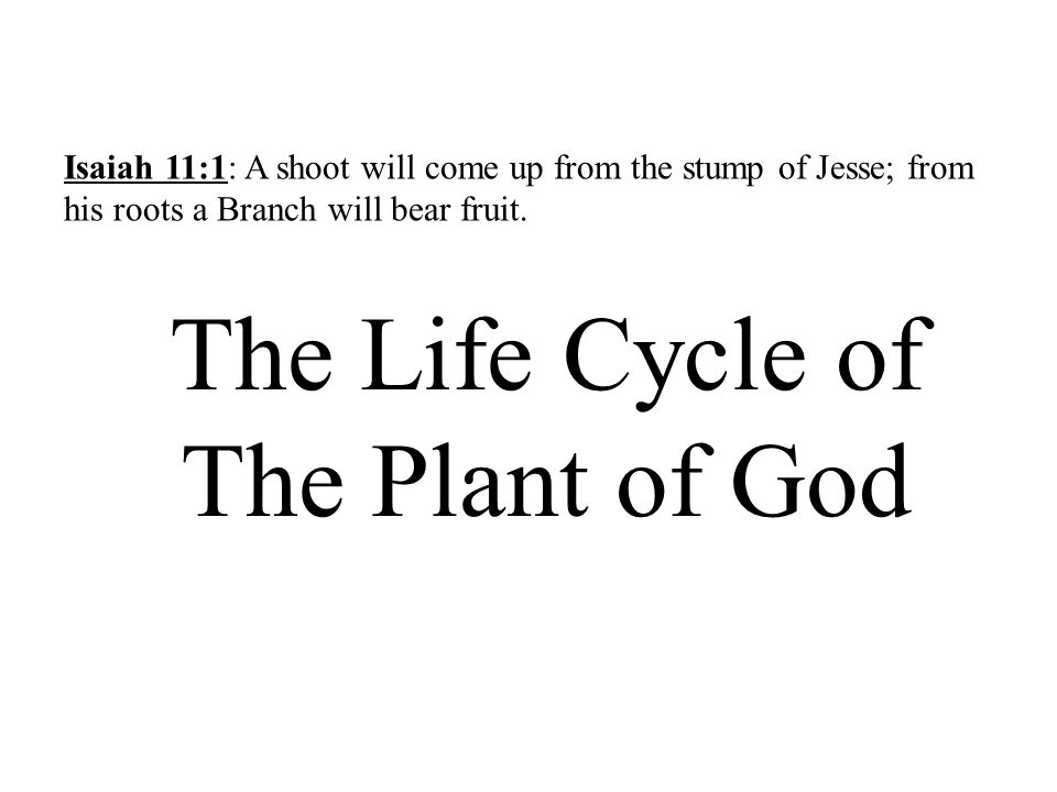 The Life Cycle of The Plant of God Isaiah 11:1: A shoot will come up from the stump of Jesse; from his roots a Branch will bear fruit.