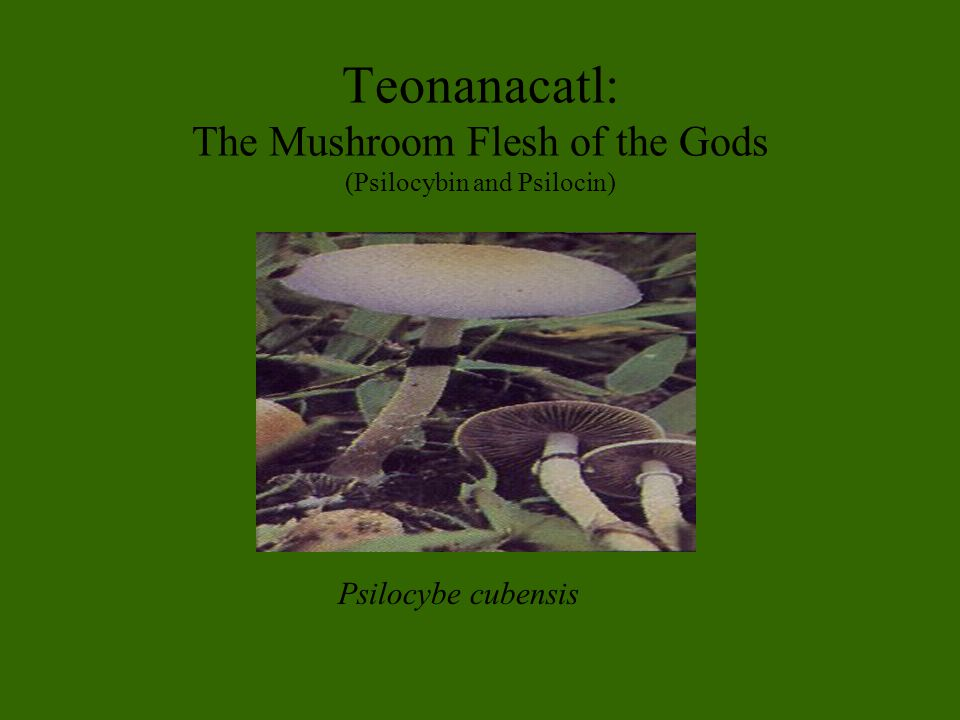 Teonanacatl: The Mushroom Flesh of the Gods (Psilocybin and Psilocin) Psilocybe cubensis