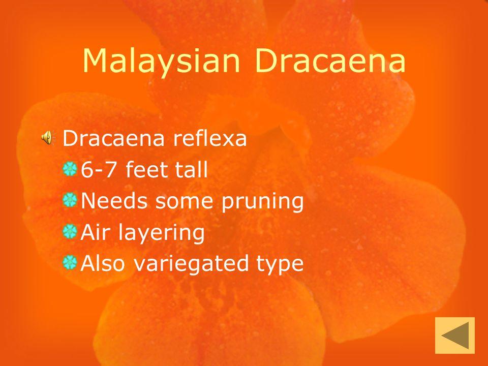 Malaysian Dracaena Dracaena reflexa 6-7 feet tall Needs some pruning Air layering Also variegated type