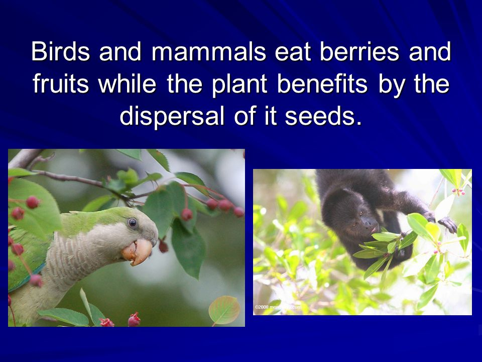 Birds and mammals eat berries and fruits while the plant benefits by the dispersal of it seeds.