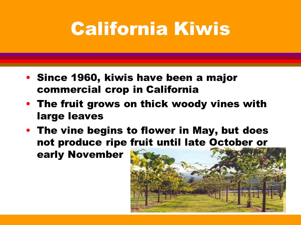 California Kiwis Since 1960, kiwis have been a major commercial crop in California The fruit grows on thick woody vines with large leaves The vine begins to flower in May, but does not produce ripe fruit until late October or early November