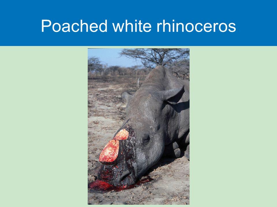Poached white rhinoceros