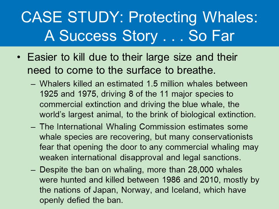 CASE STUDY: Protecting Whales: A Success Story... So Far Easier to kill due to their large size and their need to come to the surface to breathe. –Wha