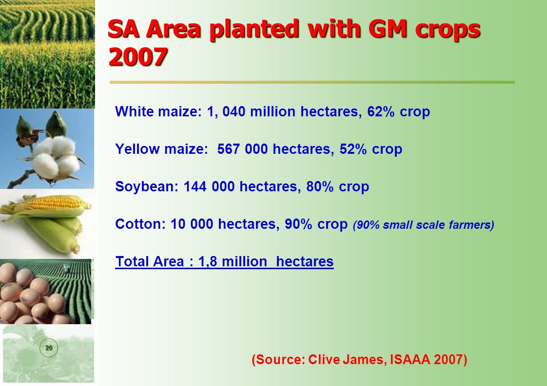 20 SA Area planted with GM crops 2007 White maize: 1, 040 million hectares, 62% crop Yellow maize: 567 000 hectares, 52% crop Soybean: 144 000 hectares, 80% crop Cotton: 10 000 hectares, 90% crop (90% small scale farmers) Total Area : 1,8 million hectares (Source: Clive James, ISAAA 2007)